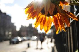 Artmongers 'Sunflowers'